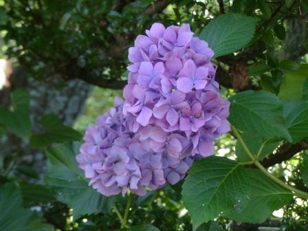 石手川緑地 紫陽花 10