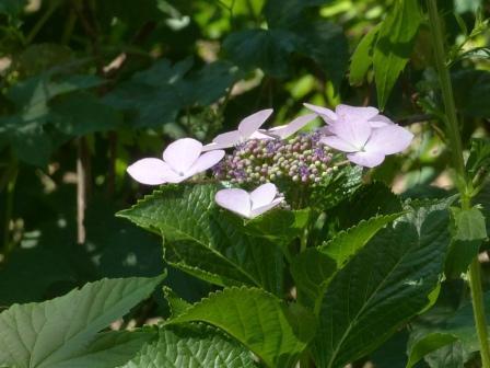 石手川緑地 紫陽花 11
