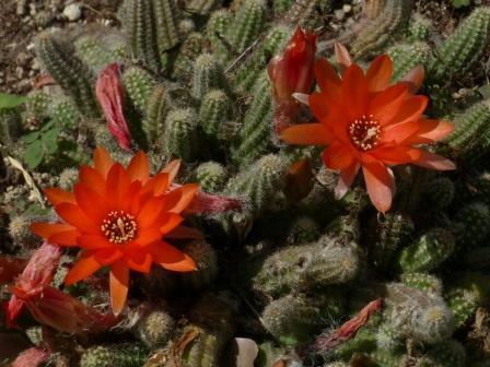 石手川緑地 サボテンの花 1