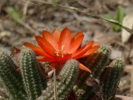 石手川緑地 サボテンの花 2