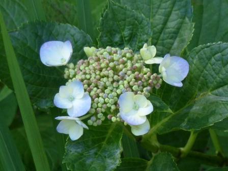 石手川緑地 紫陽花 12