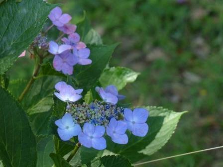 石手川緑地 紫陽花 13