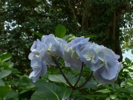 浄瑠璃寺 紫陽花 9
