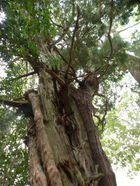 浄瑠璃寺 イブキの木