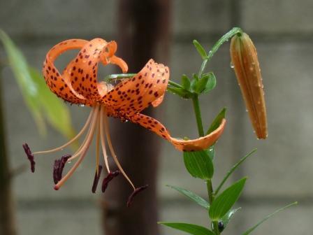 オニユリ 花