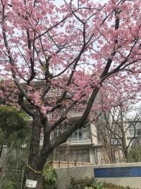 芝浦幼稚園の河津桜