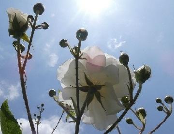 薔薇の花 - コピー