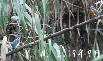 1-1-2の2019年9月11日 カワセミ