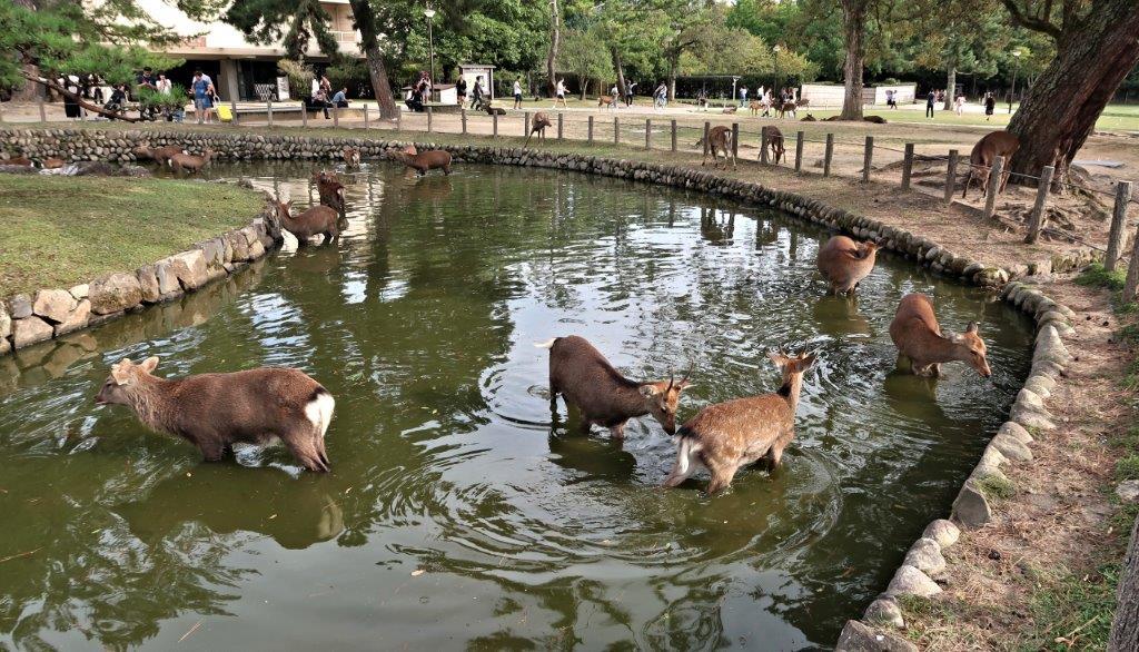酷暑に行水する奈良の鹿(奈良博前公園)