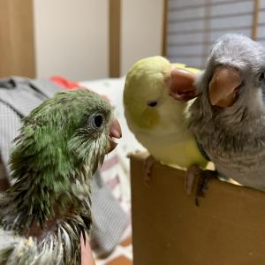 オキナ3羽1