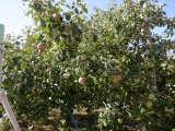 JR浪岡駅 あぴねすりんご園 りんご