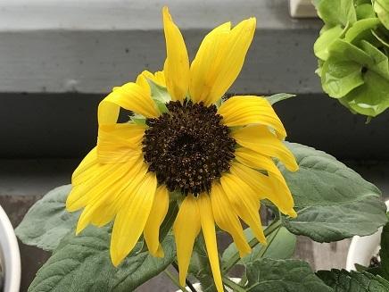 7212019 Mini Sunflower S
