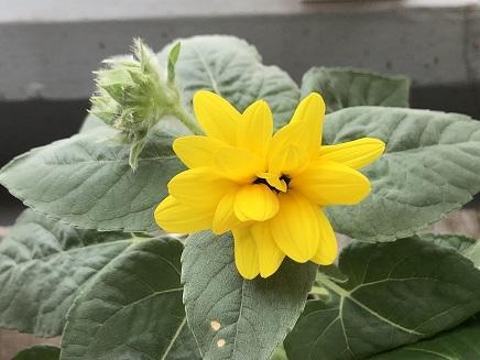 7242019 Mini Sunflower S