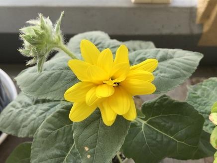 7252019 Mini Sunflower S