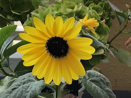 7302019 Mini Sunflower S