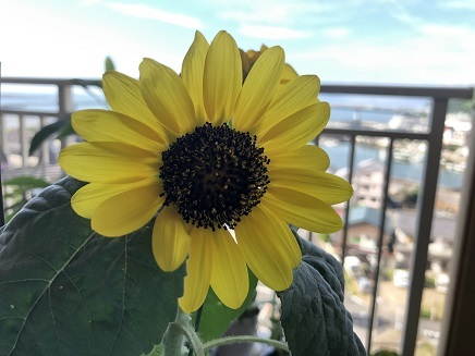 8082019 Sunflower S