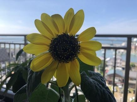 8052019 MFV Sunflower S