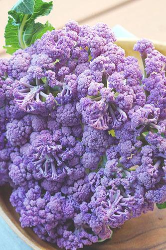 」DSC01548-紫カリフラワー
