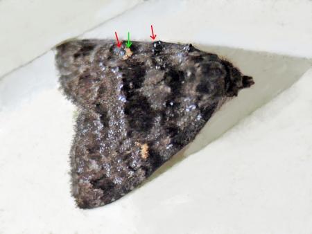 チビクロアツバ