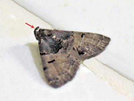 ネグロアツバ