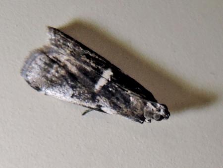 フタシロテンホソマダラメイガ