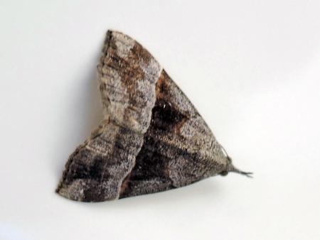 クロキシタアツバ