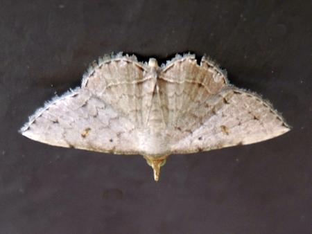 ホソナミアツバ