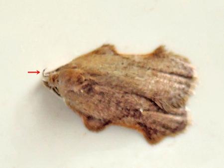 ネズミエグリキバガ