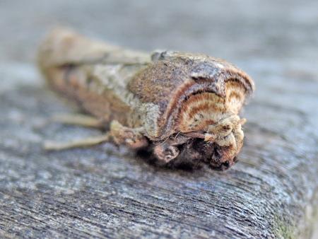 キバラモクメキリガ