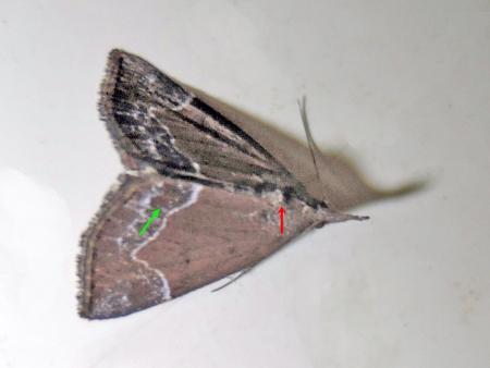 ムラクモアツバ