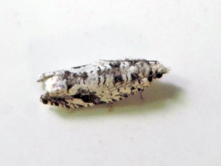 クロマダラシロヒメハマキ
