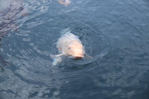 ハートの鯉