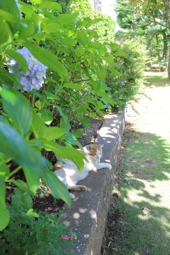 紫陽花の葉陰