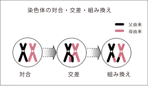 染色体の組み換え