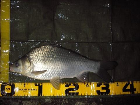 中川 鯉ベラ 34cm ダンゴ