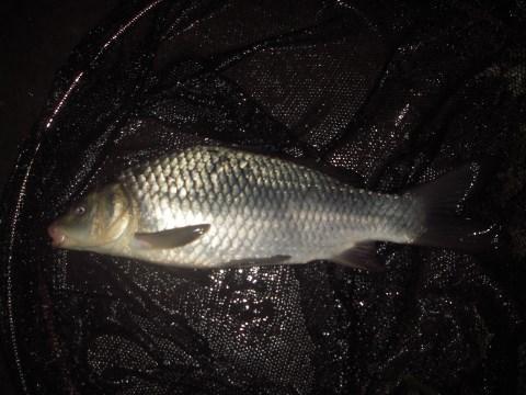 中川 鯉 35cm