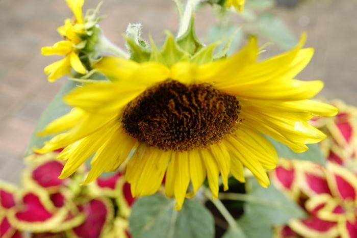 eDSC1824sun flower