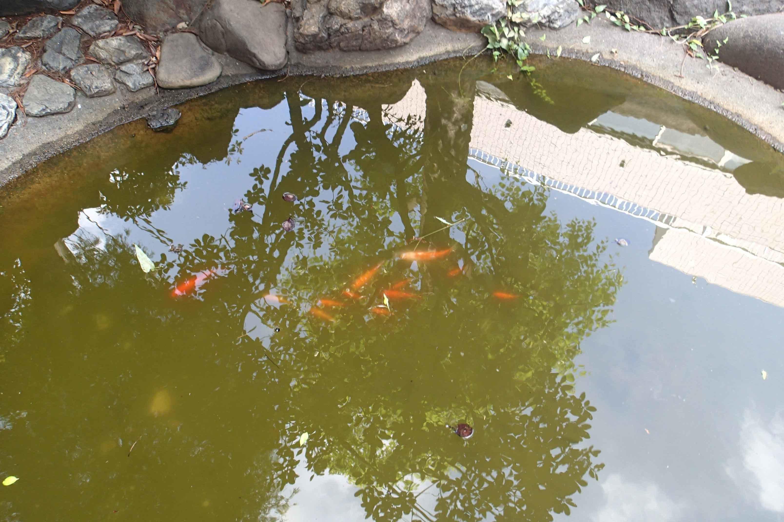 みどり 池 金魚