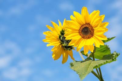 sunflower-4298808_960_720_convert_20190729105332.jpg
