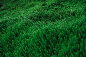 毛無峠植物1909Kenashipass04.jpg