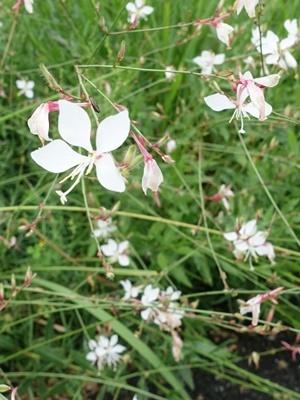 土手の花ガウラ1909