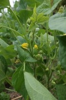 BL190918野菜の花4IMG_6654