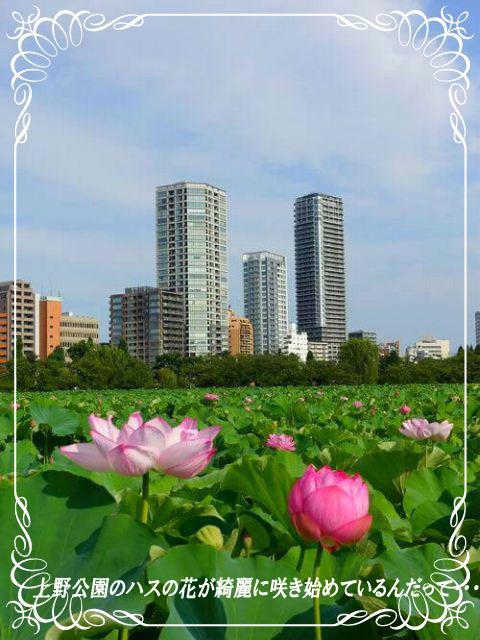 3ハスの花