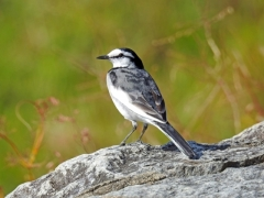鶺鴒 セキレイ せきれい コイオシエドリ 恋教え鳥