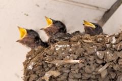 玄鳥 ツバメ 巣 渡り 玄鳥去 つばめさる
