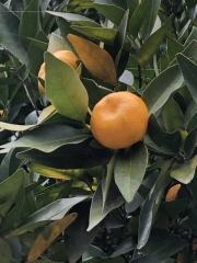 橘 橘始黄 たちばなはじめてきばむ