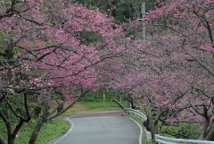 もとぶ八重岳桜まつり