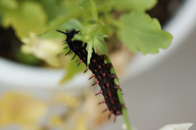 ツマグロヒョウモンの幼虫-3