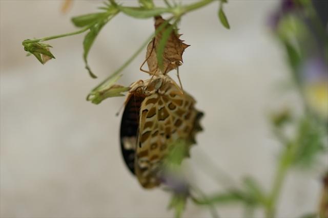 ツマグロヒョウモンの羽化-2