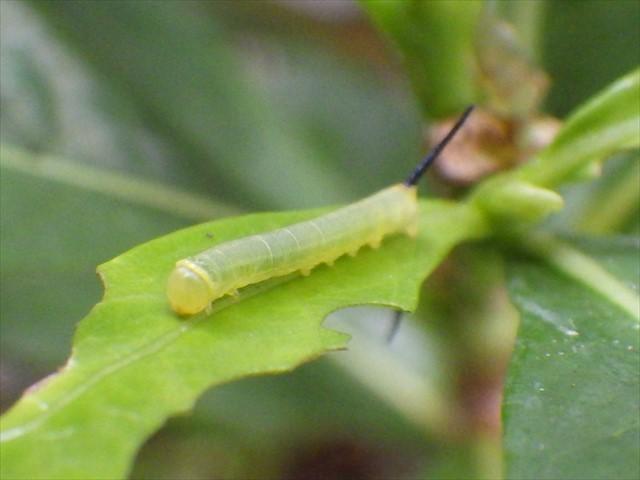 オオスカシバの幼虫-2